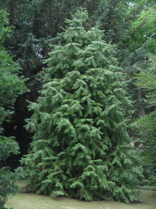 China Fir | Small Tree Seedling | The Jonsteen Company