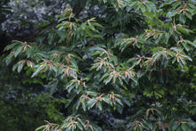 Load image into Gallery viewer, Chinese Chestnut | Medium Tree Seedling | The Jonsteen Company