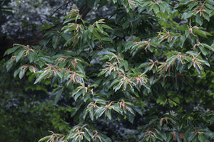 Chinese Chestnut | Medium Tree Seedling | The Jonsteen Company