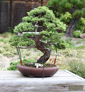 Chinese Juniper | Mini-Grow Kit | The Jonsteen Company