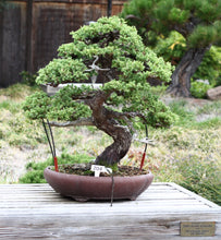 Load image into Gallery viewer, Chinese Juniper | Small Tree Seedling | The Jonsteen Company