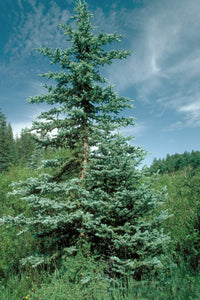 Colorado Blue Spruce | Medium Tree Seedling | The Jonsteen Company