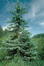 Load image into Gallery viewer, Colorado Blue Spruce | Packaged Live Tree | The Jonsteen Company
