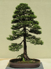 Load image into Gallery viewer, Bonsai Tree | Coast Redwood | The Jonsteen Company