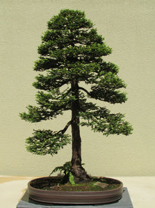Bonsai Tree | Coast Redwood | The Jonsteen Company