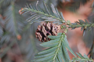 California Redwood | Coast Redwood | Seed Grow Kit | The Jonsteen Company