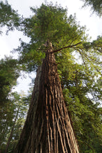 Load image into Gallery viewer, California Redwood | Coast Redwood | Seed Grow Kit
