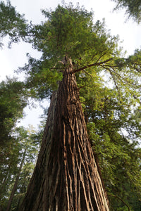 California Redwood | Coast Redwood | Seed Grow Kit