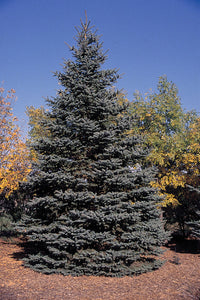 Colorado Blue Spruce | Small Tree Seedling | The Jonsteen Company
