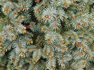 Colorado Blue Spruce | Seed Grow Kit | The Jonsteen Company