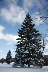 Colorado Blue Spruce | Packaged Live Tree | The Jonsteen Company