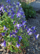 Load image into Gallery viewer, Rocky Mountain Columbine | Flower Seed Grow Kit | The Jonsteen Company