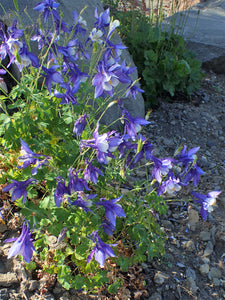Rocky Mountain Columbine | Flower Seed Grow Kit | The Jonsteen Company