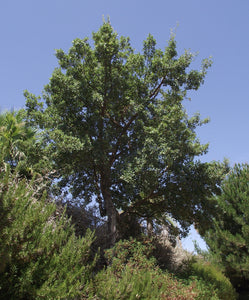 Cork Oak | Lot of 30 Tree Seedlings | The Jonsteen Company