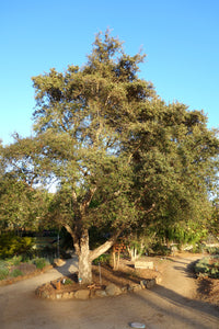 Cork Oak | Medium Tree Seedling | The Jonsteen Company