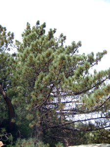 Coulter Pine | Lot of 30 Tree Seedlings | The Jonsteen Company