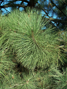 Coulter Pine | Medium Tree Seedling | The Jonsteen Company