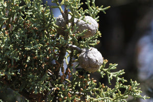 Cuyamaca Cypress | Small Tree Seedling