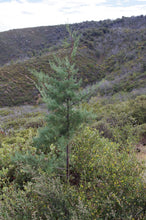Load image into Gallery viewer, Cuyamaca Cypress | Small Tree Seedling | The Jonsteen Company