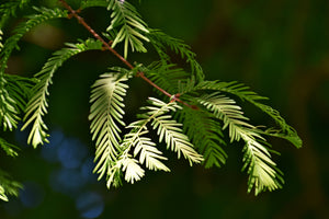 Dawn Redwood | Medium Tree Seedling | The Jonsteen Company