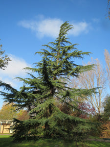 Deodar Cedar | Medium Tree Seedling | The Jonsteen Company