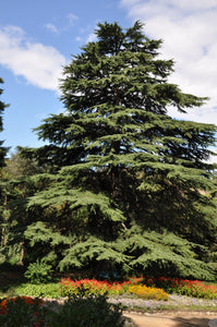 Deodar Cedar | Lot of 30 Tree Seedlings | The Jonsteen Company