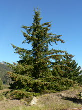 Load image into Gallery viewer, Douglas Fir | Medium Tree Seedling | The Jonsteen Company