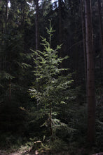 Load image into Gallery viewer, Douglas Fir | Mini-Grow Kit | The Jonsteen Company
