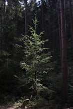 Load image into Gallery viewer, Douglas Fir | Lot of 30 Tree Seedlings | The Jonsteen Company