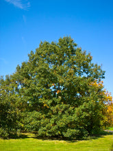 Load image into Gallery viewer, Eastern Black Oak | Medium Tree Seedling
