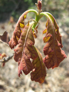 Eastern Black Oak | Medium Tree Seedling