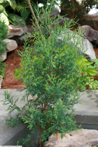 Eastern Redcedar | Mini-Grow Kit | The Jonsteen Company