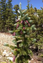 Load image into Gallery viewer, Engelmann Spruce | Medium Tree Seedling | The Jonsteen Company