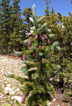Load image into Gallery viewer, Engelmann Spruce | Small Tree Seedling | The Jonsteen Company
