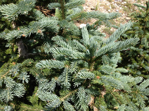 Engelmann Spruce | Lot of 30 Tree Seedlings | The Jonsteen Company