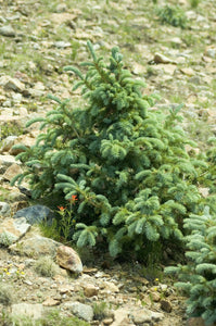 Engelmann Spruce | Medium Tree Seedling | The Jonsteen Company