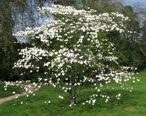 Flowering Dogwood | Large Tree Seedling | The Jonsteen Company