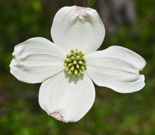 Load image into Gallery viewer, Flowering Dogwood | Small Tree Seedling | The Jonsteen Company