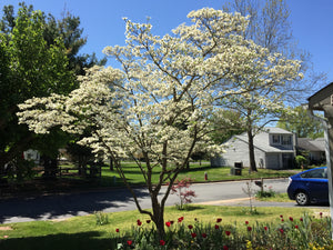 Flowering Dogwood | Small Tree Seedling | The Jonsteen Company