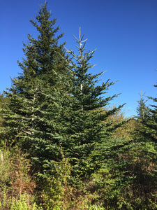 Fraser Fir | Small Tree Seedling | The Jonsteen Company