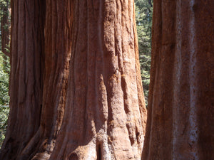Giant Sequoia | Packaged Live Tree | The Jonsteen Company
