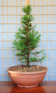 Bonsai Tree | Giant Sequoia | The Jonsteen Company