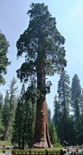 Load image into Gallery viewer, Giant Sequoia | Medium Tree Seedling