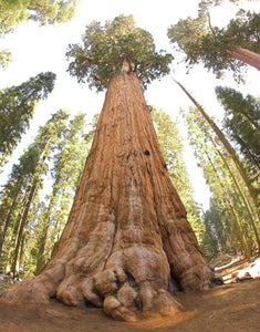 Giant Sequoia | Medium Tree Seedling
