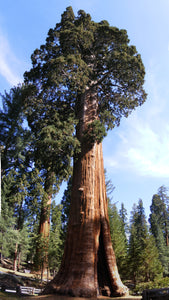 The Nation's Christmas Tree | Giant Sequoia | The Jonsteen Company