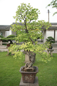 Bonsai Tree | Ginkgo Tree | The Jonsteen Company