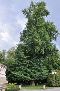 Jurassic Tree | Ginkgo biloba | Seed Grow Kit | The Jonsteen Company