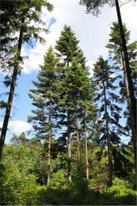 Grand Fir | Small Tree Seedling | The Jonsteen Company