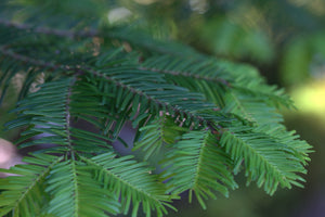 Grand Fir | Medium Tree Seedling | The Jonsteen Company