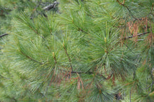 Load image into Gallery viewer, Himalayan Pine | Medium Tree Seedling | The Jonsteen Company